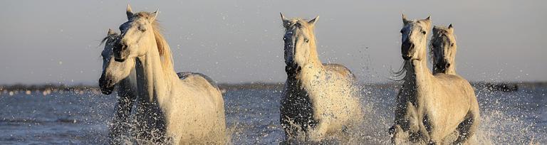 Horses galloping through water